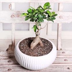 بنسای فیکوس  Benny Ficus Plant