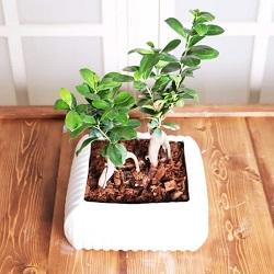 بنسای فیکوس دوقلو Benny Ficus Plant